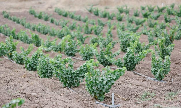 Popelouchum: Breeding winegrape magic on California's central coast