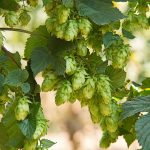 Inside Beer: Playing the Hops Market