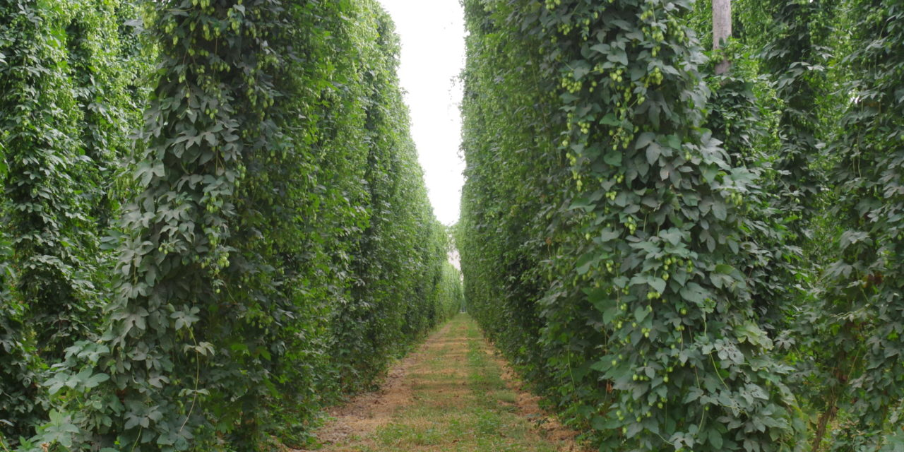 A Growing Industry: Hops Outside the Pacific Northwest