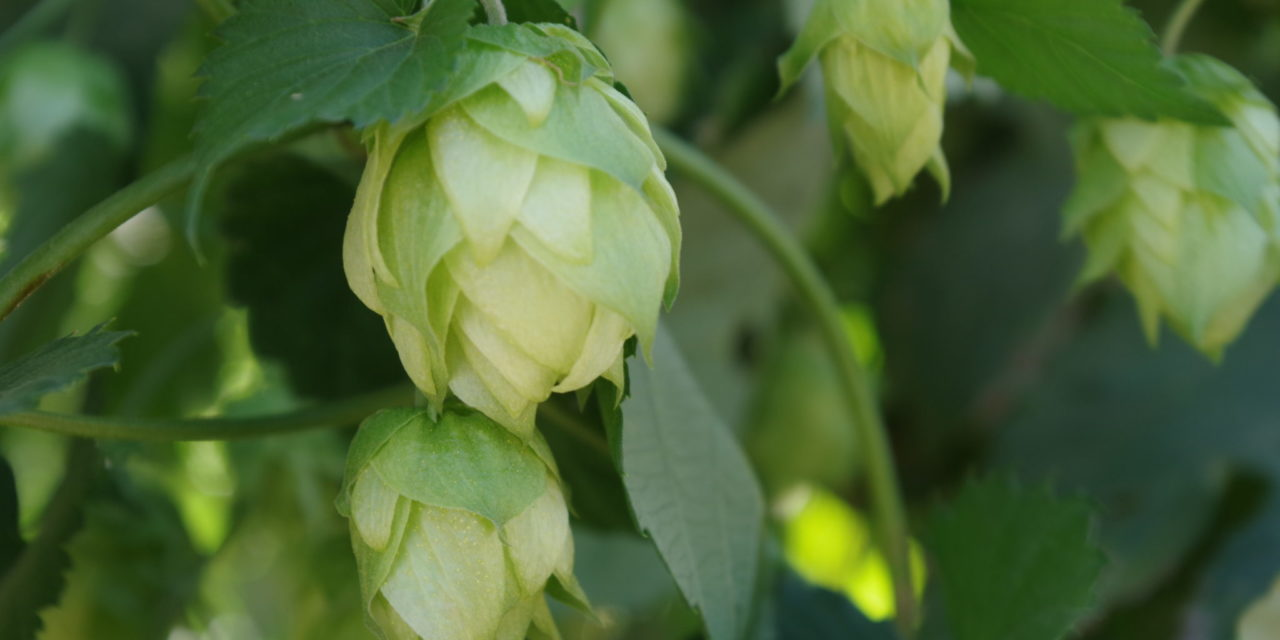 A Lupulin Revolution: As craft beer continues to disrupt the brewing industry, ground-level changes in hop yards bring new opportunity and challenges for growers, brokers, and brewers.