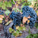 Inside Wine: Cabernet Franc Deserves More Respect