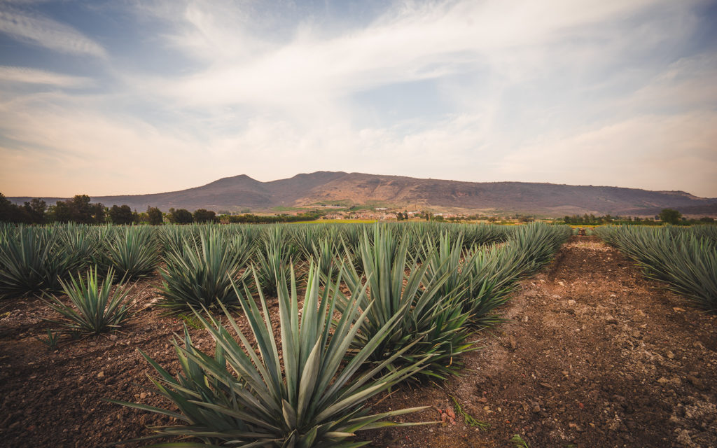Patrón Plans Ahead to Ensure Agave Supply