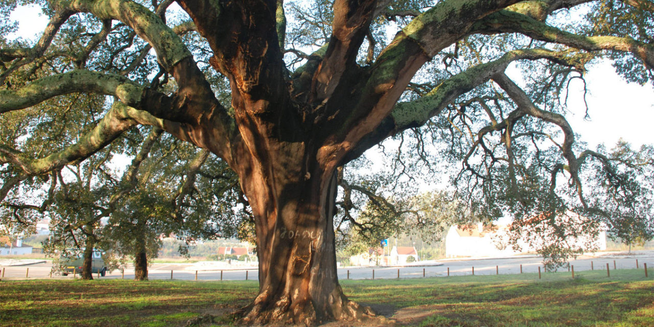 Portugal's Oldest Producing Cork Tree