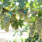 UC Davis Debuts New Winegrapes
