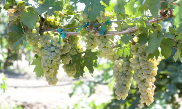 UC Davis Debuts New Winegrapes