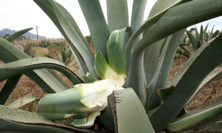 Inside Sustainability: Protecting Agave-Based Spirits (Guest Column)