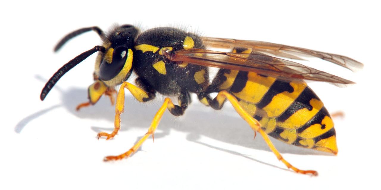 Bee-eer: Wasp yeast creates new sours