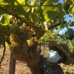 D.O. Rías Baixas Completes 2020 Harvest Characterized by Exceptional Aromatic Intensity