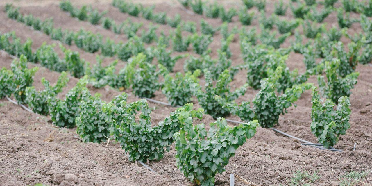 Popelouchum: Breeding winegrape magic on California's central coast