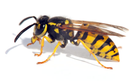 Bee-eer: Wasp yeast creates new sours